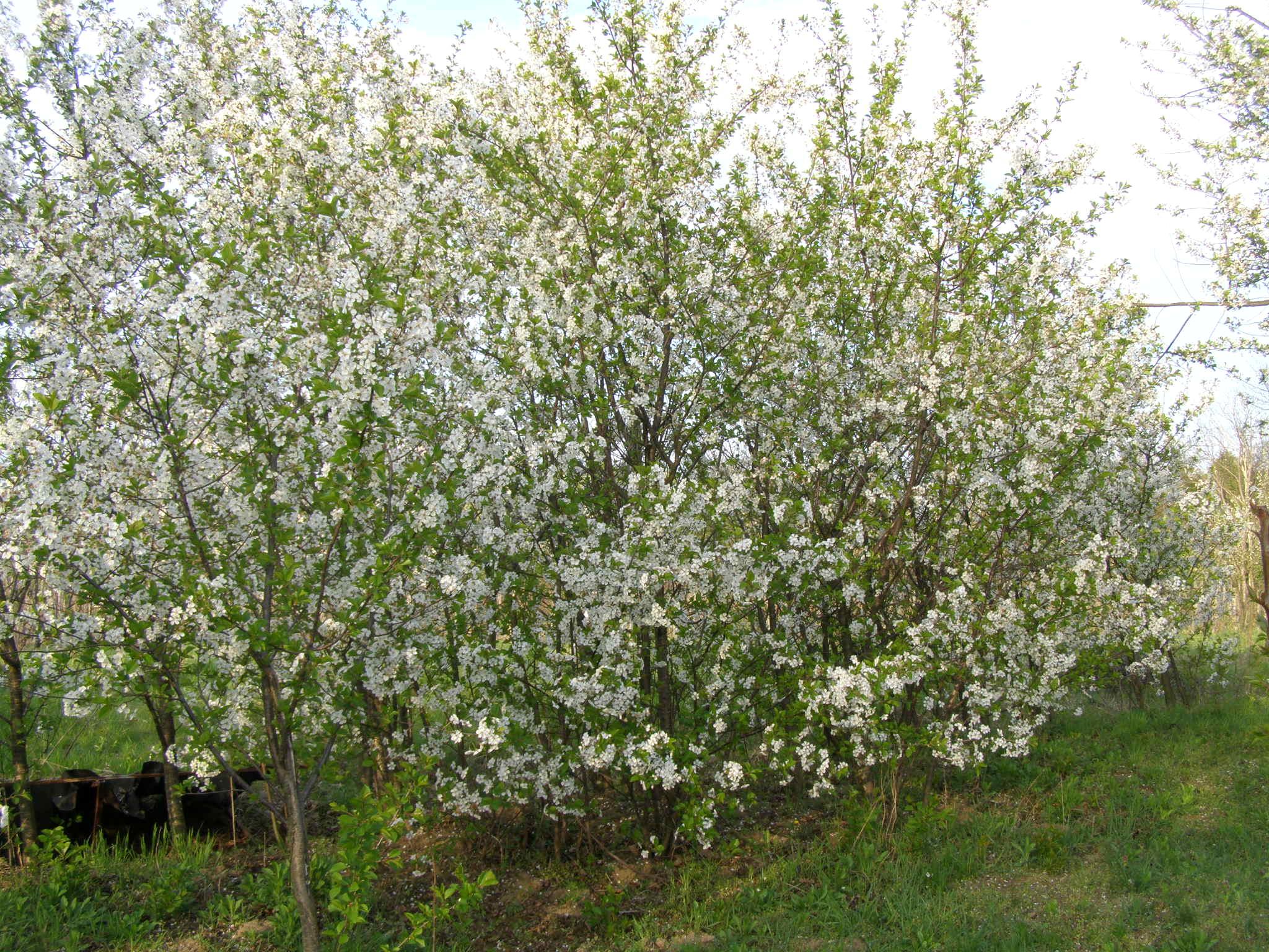 višnje u cvatu