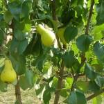 ekološko voće- kruška tikvica