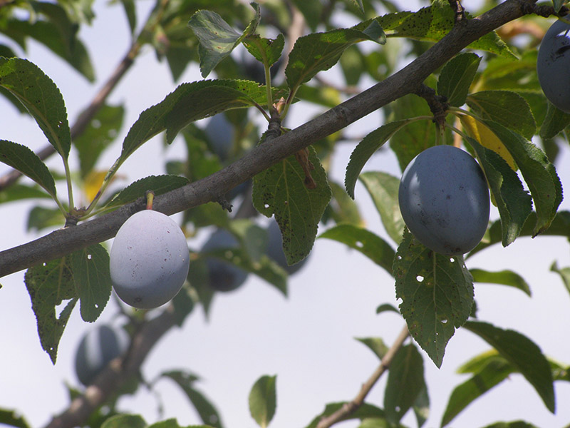ekološko voće-šljiva