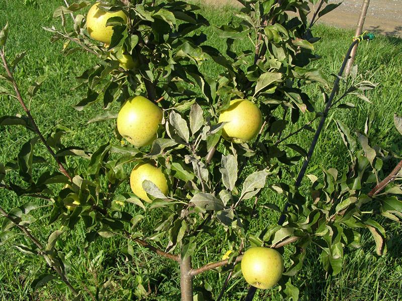 ekološka jabuka