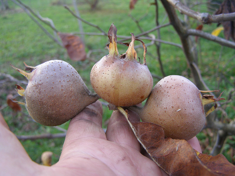 ekološko voće-mušmula
