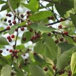 ekološko voće- divlja trešnja