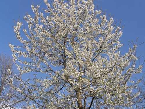 divlja trešnja u cvatu