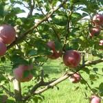 ekološko voće- jabuke