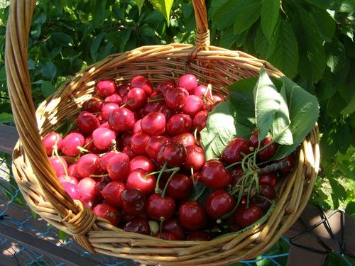 Trešnja ekološki uzgoj