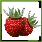 sumska-jagoda